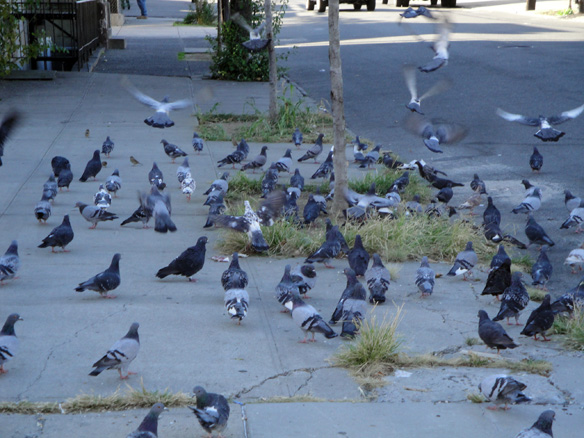 Morrisania Bronx Pigeons